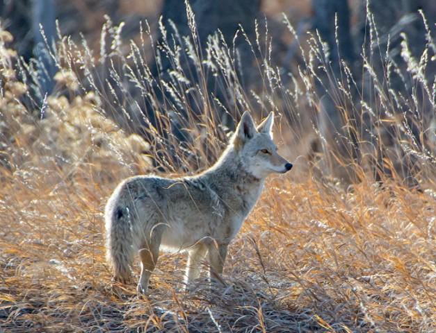 Photographie d'un coyote dans les hautes herbes